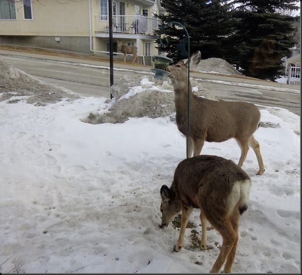 Freeloading Deer in front yard